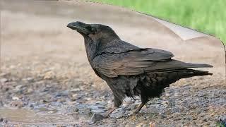 Голоса птиц: ворон