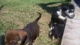 Corgi Rottweiler Mix Puppies!