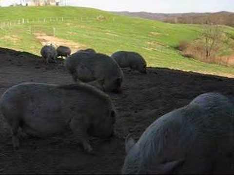 11 Pot Belly Pigs @ Olive Branch Animal Rescue & Refuge, Inc
