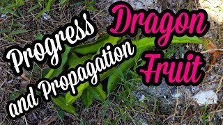 HOW TO Start Dragon Fruit from Cuttings