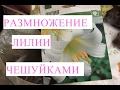 как размножить лилию чешуйками видео