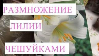 видео Размножение луковицами