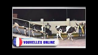 Le qatar continue d'importer des vaches laitières par milliers et par avion