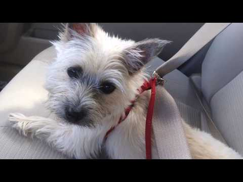 """Penny"" - Purebred Cairn Terrier available for adoption to EXPERIENCED family"