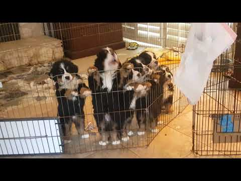Puppies Get Excited When They See Their Mom - Ovation's Puppies