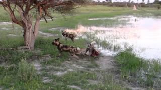 wild dogs catch and kill impala