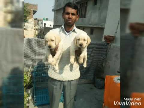 Labra  puppies for sale