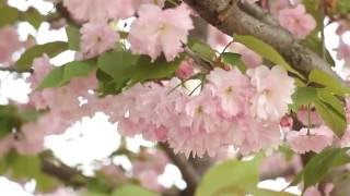 Free HD Stock Footage. Nature. Sakura blossom in wind.  桜 Футаж. Цветущая сакура.  Весна(Free HD video stock footage of beautiful nature, flowers, blossom and many more on AllatRa TV Channel: ..., 2016-06-30T10:27:16.000Z)