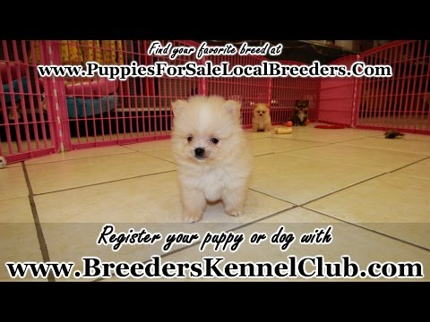 Pomeranian, Puppies For Sale, In Knoxville, County, Tennessee, TN, 19Breeders, Murfreesboro, Jackson