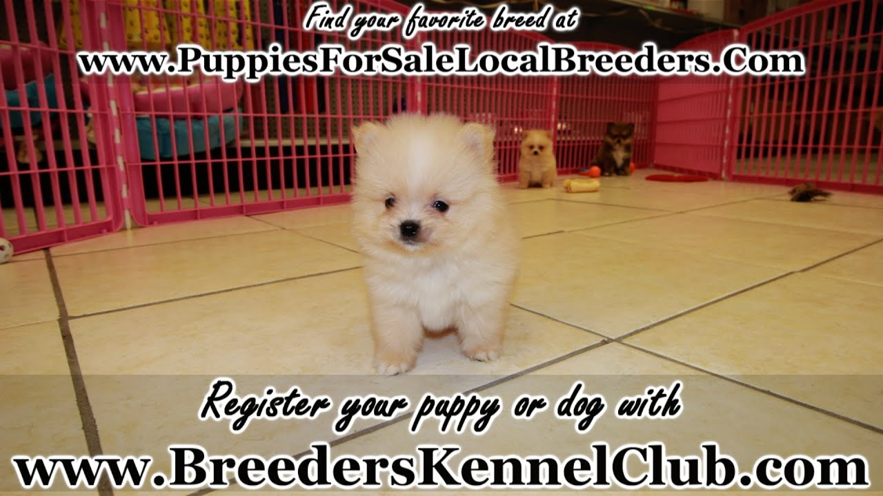 Pomeranian Puppies For Sale In Knoxville County Tennessee Tn