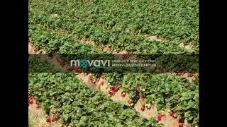 видео Принимаем заказы на выращивание рассады на весну 2017 года
