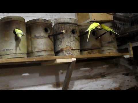 Размножение волнистых попугаев часть-1.
