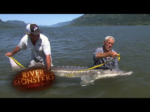 Catching A Huge White Sturgeon - River Monsters