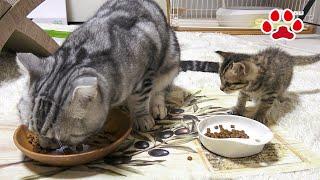 【猫の模倣学習】子猫にご飯の食べ方を教えてみた 【瀬戸のここ日記】