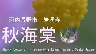 秋海棠 岩湧寺 大阪府河内長野市 2018(Ⅱ) Hardy begonia in Iwawaki-ji Kawachinagano Osaka Japan