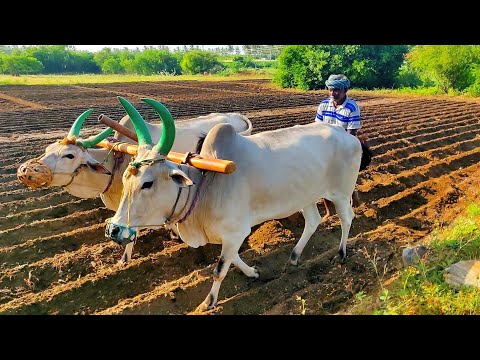 Antiquated method of plough by OX | Agriculture India
