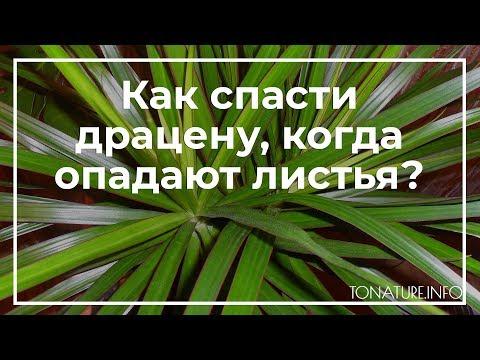 Как спасти драцену, когда опадают листья? | toNature.Info