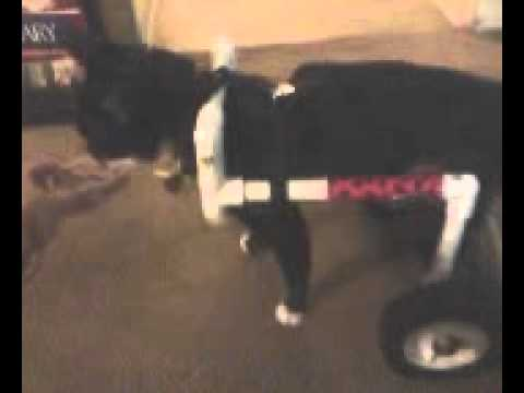 Wheelchair For Cats Thomasville Dining Chairs Homemade Pvc Cat Youtube