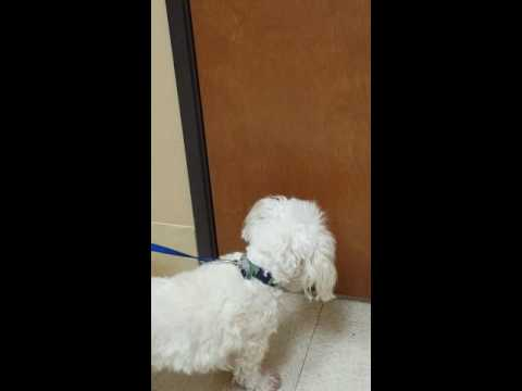 Lucky listening for other dogs at the VET