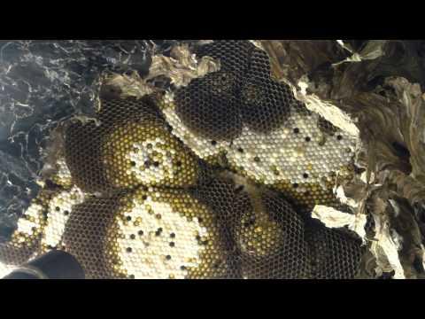 Beekeeper VS Yellow Jackets
