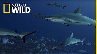 700 rekinów - oglądaj Tydzień z Rekinami na Nat Geo Wild