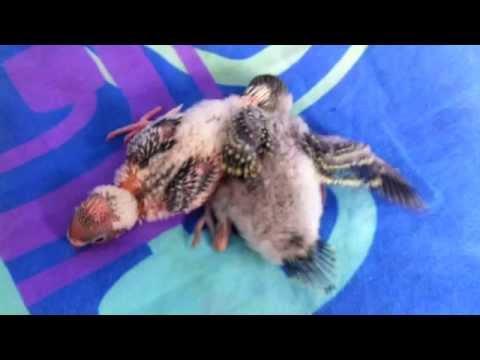 Птенцы Волнистого Попугая _ Baby Budgies # Как Меняется Попугайчик, фотографии