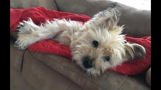 Charlie the Cairn Terrier