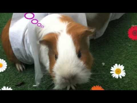 My awesome guinea pigs!!!!!
