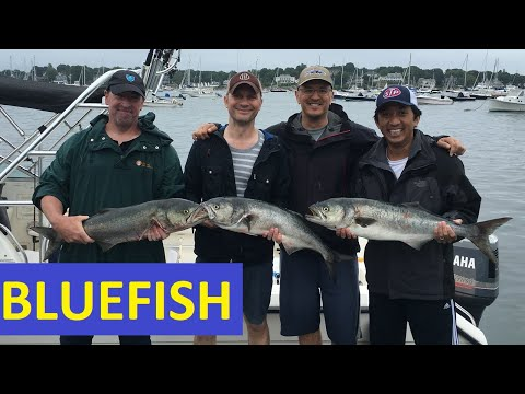 Fishing For Bluefish In Marblehead