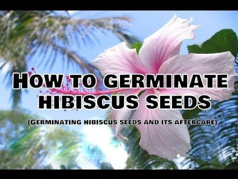 How To Germinate Hibiscus Seedsgerminating Hibiscus Seeds And Its Aftercare