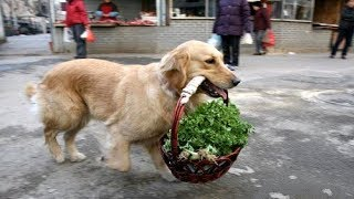 Dog Helps Owner Bring Groceries Into The House|| FUNNY VIDEO