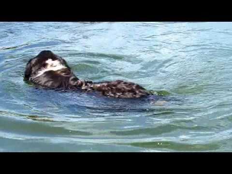 Bernský salašnický pes - plavání