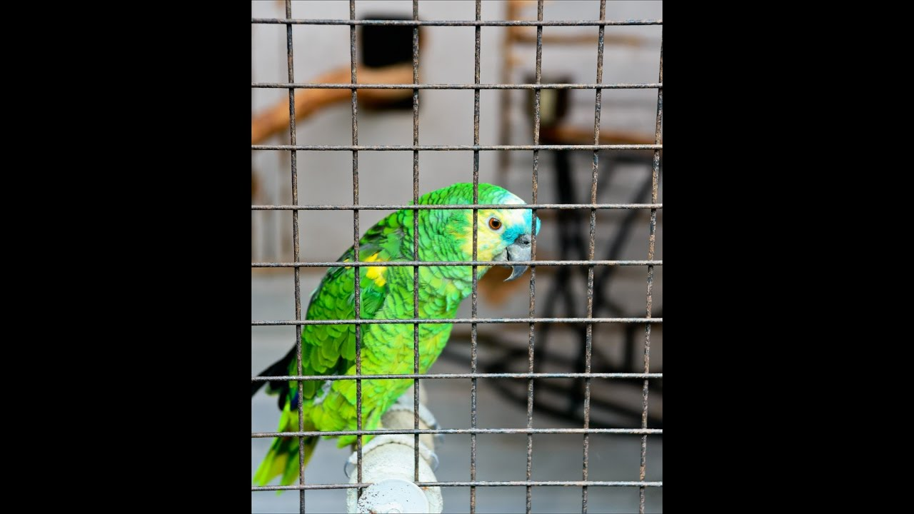 Amazing Parrot Sings Chandelier By Sia Youtube
