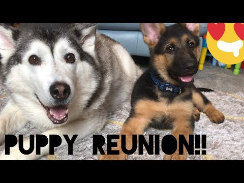 Husky Reunion With Puppy!!! [HE GETS BRAVE!]