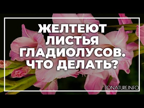 Желтеют листья гладиолусов | toNature.Info