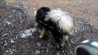 Тибетский мастиф // идеальная собака// # 2, Дрессировка