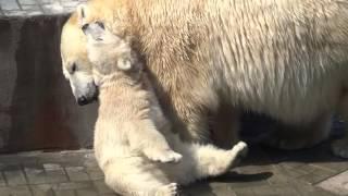 Мама, хочется чего-нибудь пожевать! Полярные медведи.22.05.2016