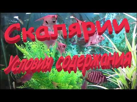 Скалярия содержание в аквариуме. Скалярия совместимость и уход.