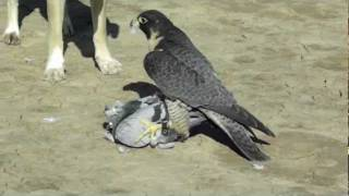 Perigrine Falcon Destroys Pigeon!