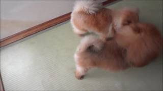 ライオンVSグリズリー ポメラニアンカンフー Pomeranian Kung Fu その45...