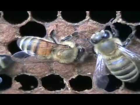 VSH Bee Behavior