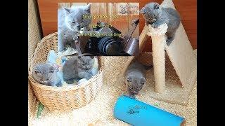 Британские котята в реальном времени, смотреть/online british kittens