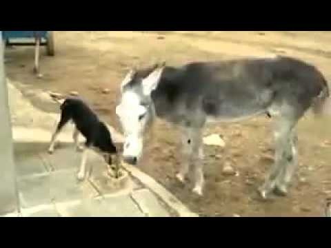 donkey fights dog over water