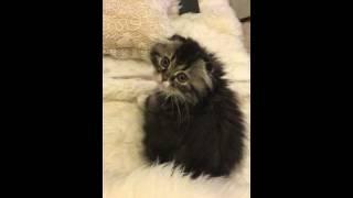 named JJ sweet kitten scottish fold longhair 子猫 スコティッシュフォールド