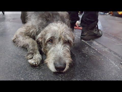 ИРЛАНДСКИЙ ВОЛКОДАВ, выставка собак ZooExpo. IRISH WOLFHOUND. Baltic Winner 2016 FCI CACIB Dog Show