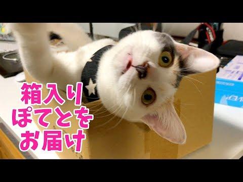 猫はやっぱり箱が好き?おてんば箱入り娘ぽてと