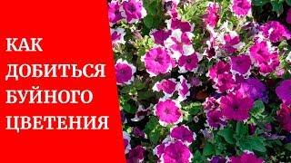 🌸Как добиться буйного цветения петуний?🌸