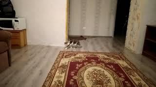 Трехцветная кошка куки,второй рассказ о себе.
