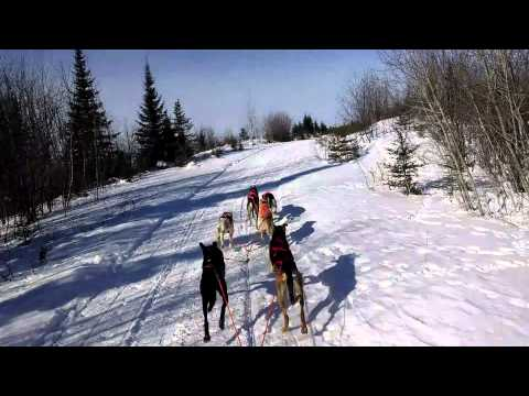Sprint Sled Dog Team Chasing Two Wolves During Training
