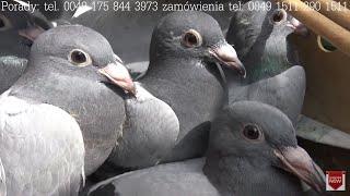 24-06-2018 aktualne młode gołębie na sprzedaz Jungtaubenverkauf tel 0049 1511 290 1511